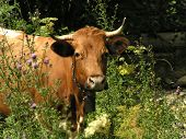 Cow On A Pasture Among Wild Flowers