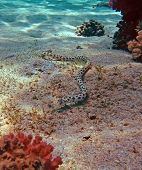 Spotted Snake Eel At The Red Sea Coral Reef