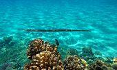 Blue-spotted Cornet Fish