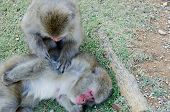 Two Japanese Macaques Grooming