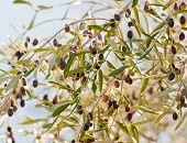Black Olives On Olive Branches