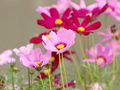 Pink Flower Of cosmea