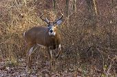 Deer/buck Raises Leg To Warn Intruder