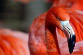 Close Up Portrait Of A Pink Flamingo