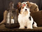 biewer york puppy