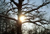 Sun Penetrate Snowy Branches Of Old Oak In Winter