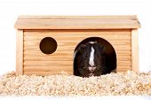 Guinea Pigs In A Wooden Small House