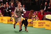 NEW YORK - FEBRUARY 14: Doberman Pinscher Grand Champion Protocal's Veni Vidi Vici (R) wins the Work