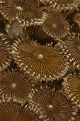 stock photo of raja  - A close up on a Flat Disc Colony in the ocean of Mayu Island Raja Ampat Indonesia - JPG