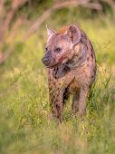 Spotted Hyena (crocuta Crocuta) Scavenger Looking Aside With Blood Around Mouth In Green Grass Under poster