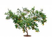 A Orange Tree On Isolated White Background, Citrus Japonica Thumb Is Trees From Thailand poster
