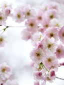 Soft Pink Cherry-Tree Blossom poster