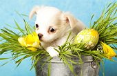 Chihuahua puppies and Easter eggs in green grass