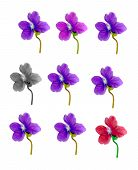 Different Colored Violet Flowers Isolated On White Background