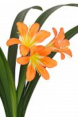 Three flowers of Lily of Clivia kind With Green Leaves On White