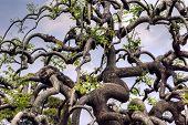 Sophora Japonica Var. Pendula (weeping Japanese Pagoda Tree).