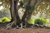 Roots Of The Banyan Tree