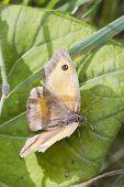 Gatekeeper Butterfly (pyronia Tithonus)