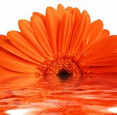 Gerbera In Water Ripples