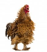 Crossbreed rooster crowing, Pekin and Wyandotte, against white background