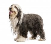 Bearded Collie, 5 years old, standing against white background