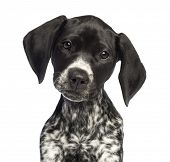 German Shorthaired Pointer, 10 weeks old, close up against white background