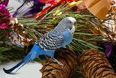 Blauwe golvende Parrot en Cedar Big Shots