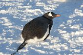 Gentoo Penguin Lying On The Snow.