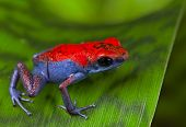 frog red and blue amphibian poisonous animal of tropical rain forest Panama Isla Escudo strawberry p