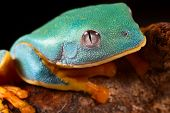 stock photo of orange frog  - tree frog head tropical rainforest treefrog lives in Amazon rain forest of Panama - JPG