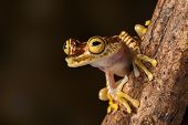 tree frog hypsiboas picturata Amazon rain forest treefrog of Colombia and Ecuador jungle, exotic animal lives nocturnal