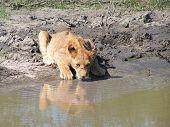 Lion Cub In Botswana
