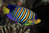 stock photo of angelfish  - Regal angelfish in the tropical coral reef - JPG