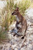 Tasmanian Wildlife