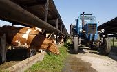picture of animal husbandry  - The tractor is dispersed grass cows on the farm - JPG