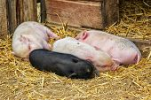 foto of pot bellied pig  - Pot bellied piglets sleeping in the straw - JPG