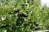 A branch of the ripe berries of a chokeberry.