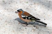 Finch pecks sunflower seeds. The male. Chaffinch.