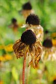 Overblown Dried Rudbeckia Flowers In The Garden