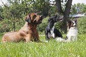 Three Dogs (rhodesian Ridgeback Hound Hort, Papillon)