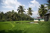 paddy field and coconut trees in a rural village in Padang, West Sumatera, Indonesia.
