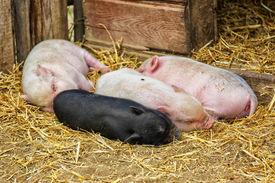 picture of pot-bellied  - Pot bellied piglets sleeping in the straw - JPG