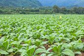 stock photo of tobacco barn  - Tobacco plantation green leaf tobacco in field - JPG
