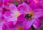 Amaryllis Bumble Bee