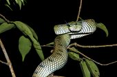 Deadly Pit Viper