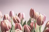 Vintage Tulips Pale Pinks