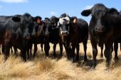 cattle lined up for a portrait