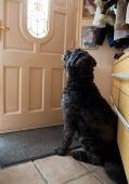 picture of hairy tongue  - Picture of a Bouvier des Flandres waiting at the front door - JPG