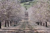 Almond Garden In Spring