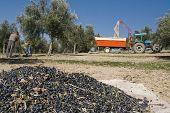 Farmer gathering olives in an olive tree near jaen